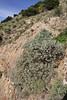 Neochamaelea pulverulenta, W of Roque El Cano 650m, E of Vallehermoso (I)