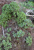 Aeonium viscatum, (sticky leaves) and A. decorum, E of San Sabastian near Punta de La Vaca (F)