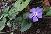 Vinca major, Laurel woodland between Las Rosas and El Tion