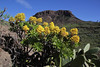 Aeonium holochrysum and Fortaleza de Chipude 1243m, 4km S of Chipude (L)