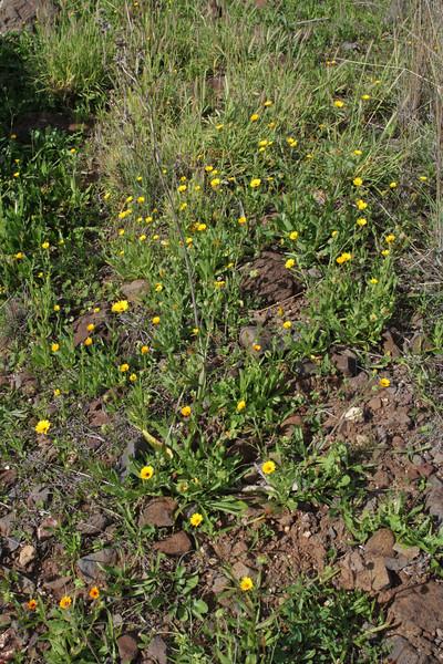 Calendula arvensis, Loma del Carmello, SW of San Sebastian (J)