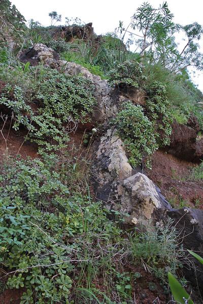 Aeonium viscatum, (sticky leafs), E of San Sabastian near Punta de La Vaca (F)