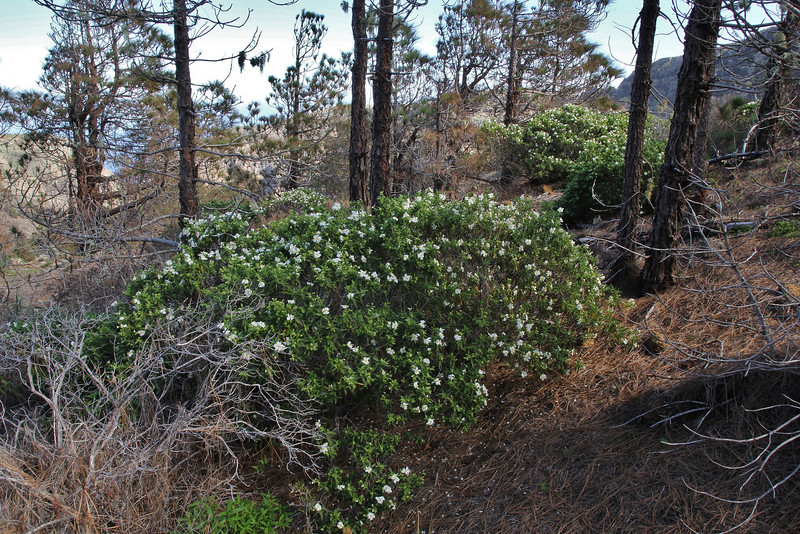 Cistus monspeliensis  and Pinus canariensis, Valle Abajo, 620m, 4x4 road E of Enchereda 1065m