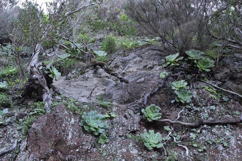 Aeonium subplanum, near the well/spring, Chorros de Epina, Epina (Q)