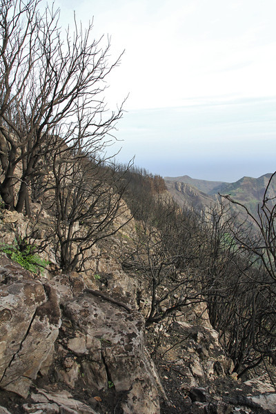 Damages of the forest fire, summer 2012, Bosque de Tejos, Parque Nacional Garajonay