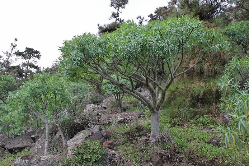 Euphorbia ?? or E. bravoana (red seed pots) , Palo Atravesado 600m, 4x4 road NE of Enchereda 1065m