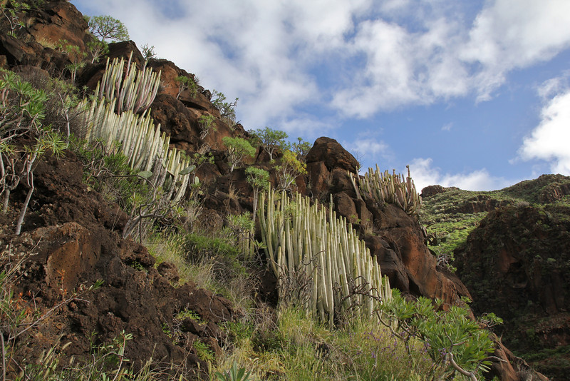 Euphorbia canariensis, Los Quemados, San Sebastian to Hermigua,(Y)