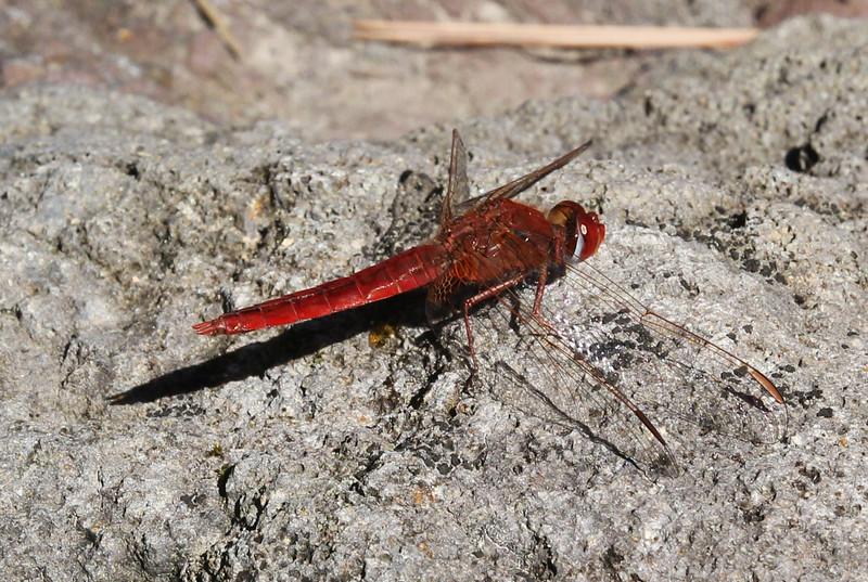 Crocothemis erythraea, (NL: rode vuurlibel), near La Laja, 600m