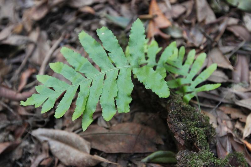Polypodium macaronesicum?, Primeval forest with 'Arboretum' Red de Equipamientos, 'Meriga' (nabij Los Aceyinos)