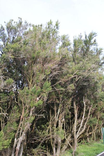 Erica arborea, Bosque de Tejos, Parque Nacional Garajonay