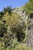 Salix canariensis, near Chejelipes