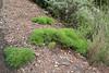 Plantago arborescens? , 2km S of centro de Vistantes in Hormigua (W)