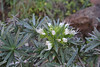 Echium aculeatum, E of San Sabastian near Punta de La Vaca (F)