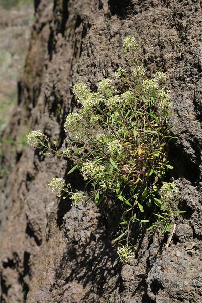 Lobularia canariensis, near La Laja, 600m