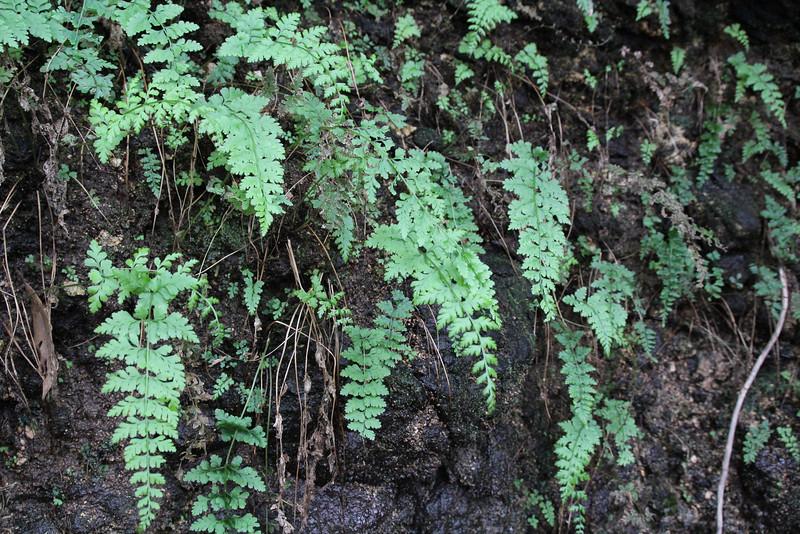 Cystopteris diaphana, Diaphanous Bladder-fern, El Cedro 900m (before Barranco de Elcedro, Las Mimbreras )