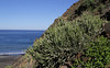 Euphorbia aphylla, Hill, W of Playa de Vallehermoso