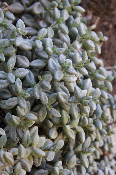 Monanthes laxiflora, E of San Sabastian near Punta de La Vaca (F)