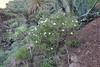 Argyranthemum frutescens, (syn. Chrysanthemum frutescens) E of San Sabastian near Punta de La Vaca (F)