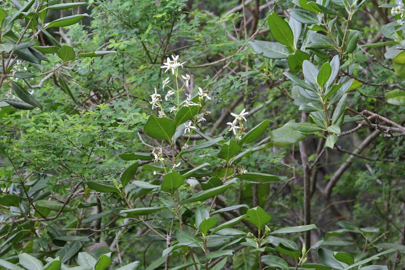 , Laurel woodland between Las Rosas and El Tion