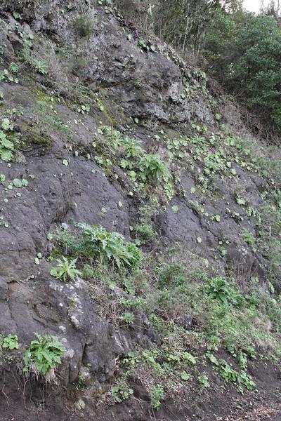 Greenovia diplocycla, near El Cedro, 1000m