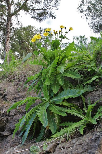 Sonchus gonzalez-padronii?, NE of Hermigua, 400m, 4x4 road N of Enchereda 1065m