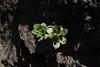 Aeonium decorum, near Chejelipes