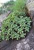 Aeonium viscatum, E of San Sabastian near Punta de La Vaca (F)