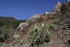 Opuntia ficus-indica, near La Laja, 600m
