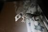 Tarentola gomerensis, Gomera Wall Gecko, Chejelipes