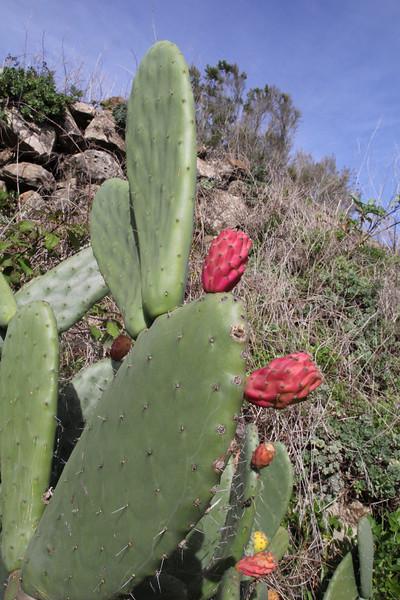 Opuntia ficus-indica, Embalse de Amalbuigue, S of La Rosas (H)