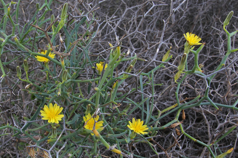 Launaea arborescens, N facing cliffs between Las Rosas and Agulo (G)
