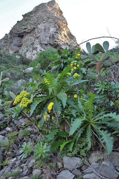 Sonchus?, SW of tunnel de La Culata, near Roque de Cano, 500m