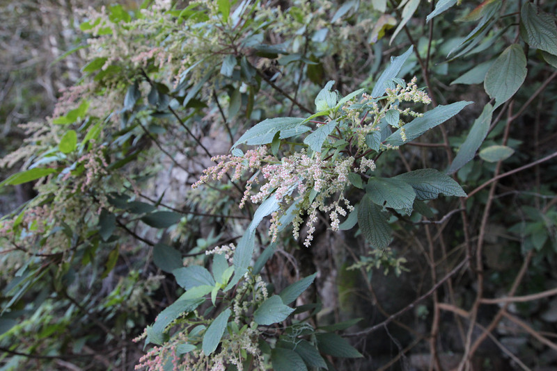 Gesnouinia arborea,  near the well/spring, Chorros de Epina, Epina (Q)