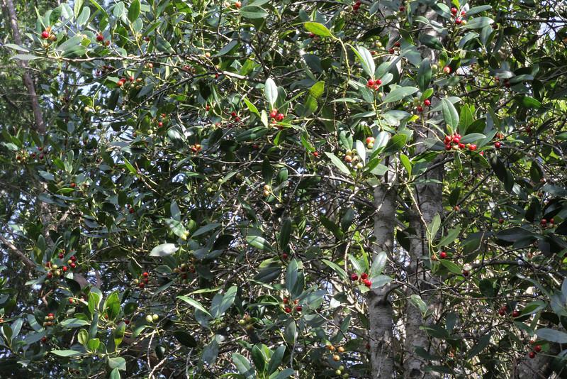 Ilex canariensis, Laurel woodland between Las Rosas and El Tion