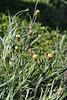 Phagnalon purpurascens, Valle Abajo, 620m, 4x4 road E of Enchereda 1065m