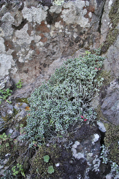 Monanthus laxiflora, near the well/spring, Chorros de Epina, Epina (Q)