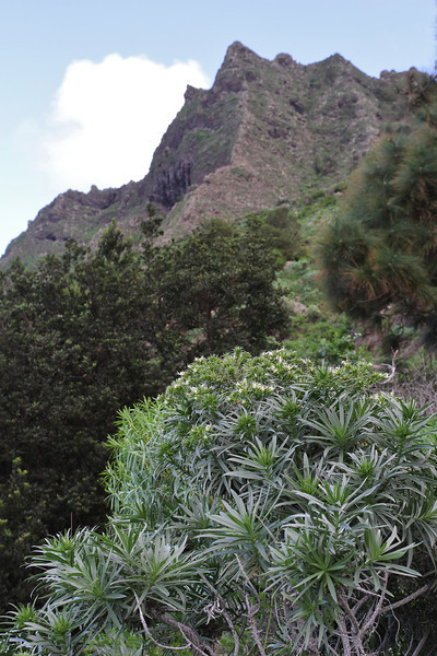Echium aculeatum, NE of Hermigua, 400m, 4x4 road N of Enchereda 1065m