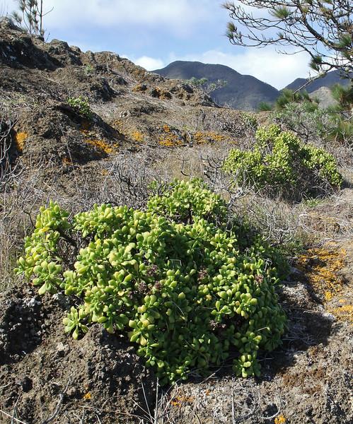 Aeonium viscatum, sticky leaves, Valle Abajo, 620m, 4x4 road E of Enchereda 1065m