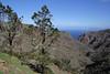 Pinus canariensis, Valle Abajo, 620m, 4x4 road E of Enchereda 1065m