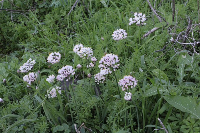 Allium roseum, near the well/spring, Chorros de Epina, Epina (Q)