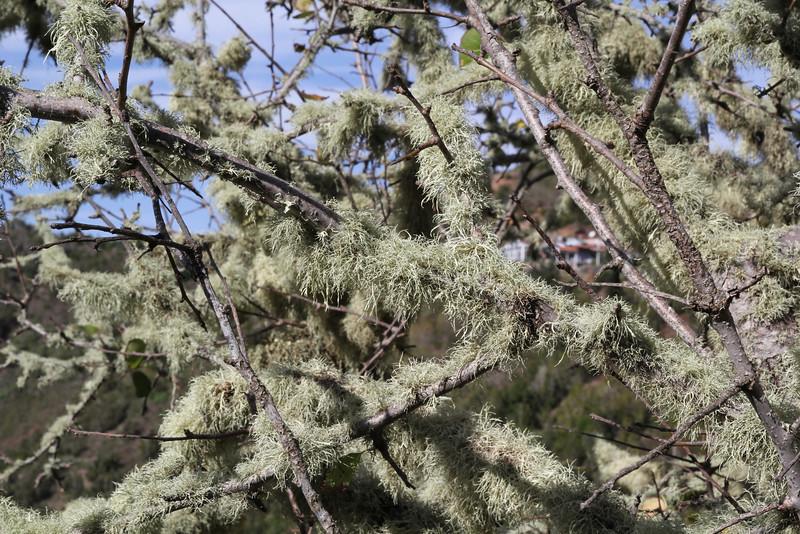 lichen?, Laurel woodland between Las Rosas and El Tion