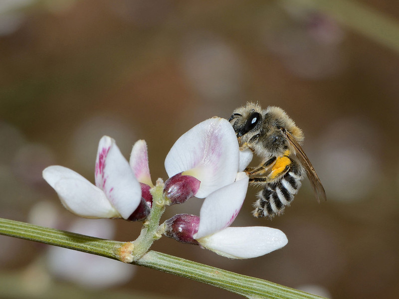 Colletes judaicus (female) on Chamaecytisus proliferus, near Pavón, S of Chipude (M)