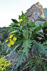 Sonchus?, SW of tunnel de La Culata, near Roque de Cano, 500m