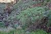 Euphorbia broussonetii, E of San Sabastian near Punta de La Vaca (F)