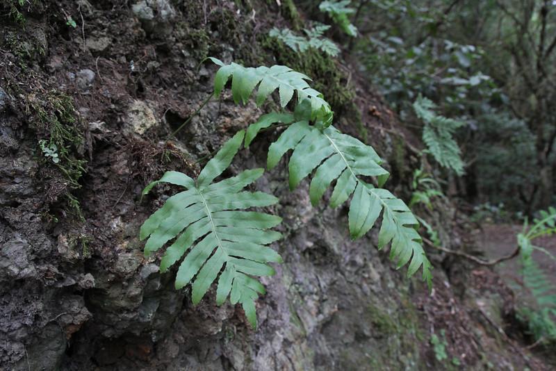 Polypodium macaronesicum,  Macaronesian Polypody, El Cedro 900m, (voor Barranco de Elcedro, Las Mimbreras