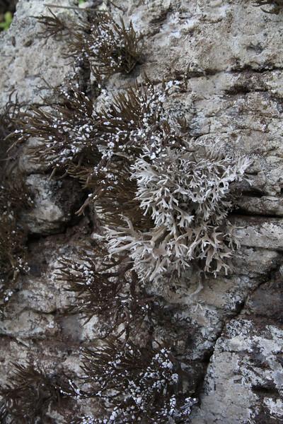 Cornicularia normoerica (just west of Agulo) (I)