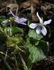 Viola odorata var. maderensis, near border NP, E of Garajonay 1487m