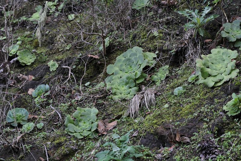 Aeonium subplanum, near El Cedro, 1000m