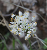 Allium roseum, E of San Sabastian near Punta de La Vaca (F)
