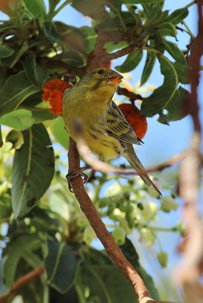 Serinus canaria, eating fruits of Arbutus canariensis, near Juege de Bolas Centro de Vistantes in Hormigua (V)